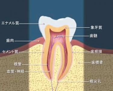 歯の構造図と各名称
